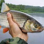 Голавль в сентябре: как поймать голавля, снасти и наживки для ловли голавля осенью
