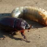 Майский жук и личинка майского жука