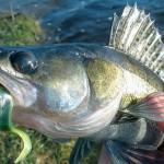 На что ловить судака в реке Миасс в Челябинске