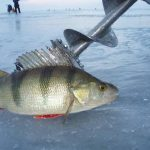 Поиск и ловля крупного окуня зимой на балансир видео