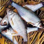 Ловля плотвы в ноябре: Прикормка, наживка и снасти для ловли плотвы в ноябре